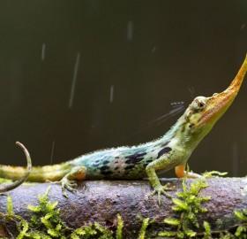 pinocchio lizard, ecuador