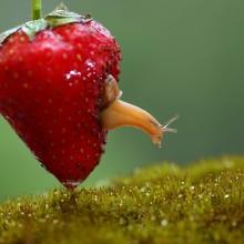 snail living inside strawberry