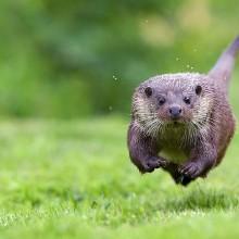 baby otter run