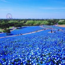 blue flower field of hitashi seaside park, japan