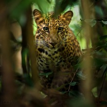 beautiful leopard of thailand rainforest
