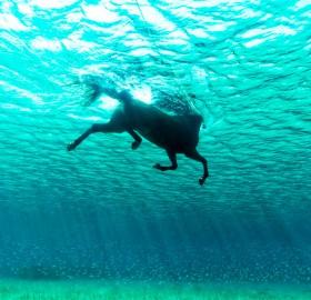 horse swimming in the ocean