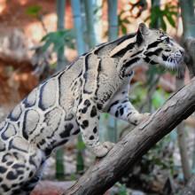 magnificent clouded leopard