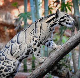 magnificent clouded leopard