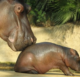 mother and baby hippopotamus in berlin zoo