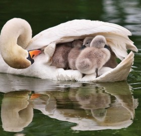 mother swan transport her babies