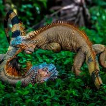battle of green iguanas