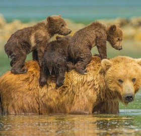bear cubs on their mother back