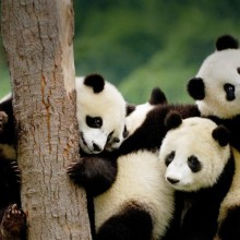 giant panda cubs, china