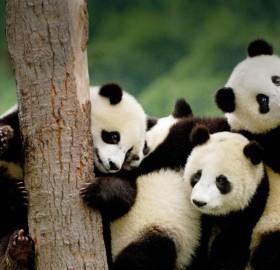 giant panda cubs, china