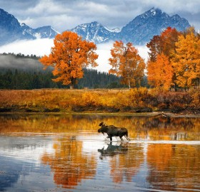 moose walks the river, wyoming