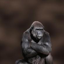 not so happy gorilla