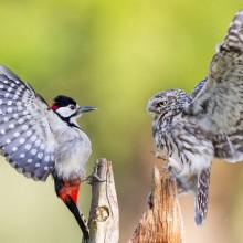 woodpecker and a owl, eye to eye