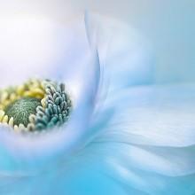 anemone de caen spring flower