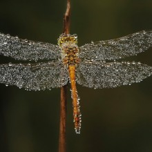 dragonfly covered in early morning dew