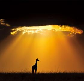 giraffe under sun light, masai mara national reserve, kenya