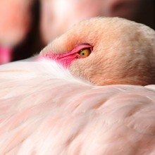 pink flamingo close-Up