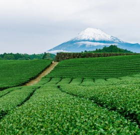 tea fields of yamanashi, japan