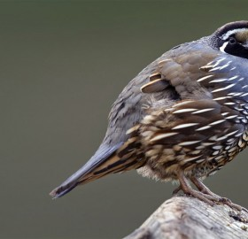 California Quail Bird