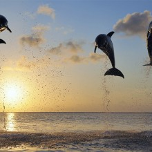 High Jump of Dolphins in Bay Islands