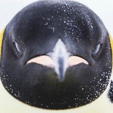 penguin close-Up