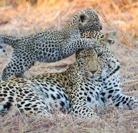 Baby Leopard Playing With Her Mom