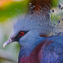 Beautiful Victoria Crowned Pigeon