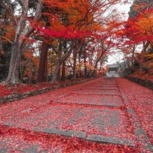 Red Leaves Path in Kyoto, Japan