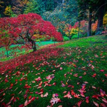 Red Leaves Tree, Japanese Garden, Portland