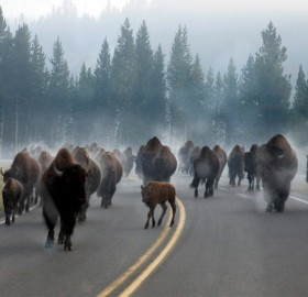 Rush Hour Traffic in Yellowstone