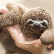 Adorable Baby Sloth
