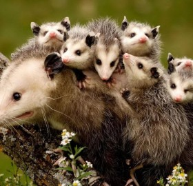 Baby Possums On Their Mum's Back