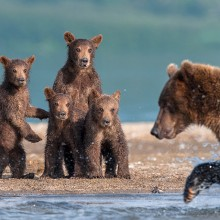 Bear Cubs Watching Their Dad Hunt