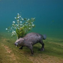 Beaver Swims Underwater With Branch