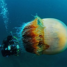 The Amazing World Of Jellyfishes In Photography