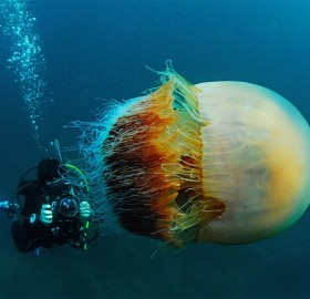 Diver And The Huge Nomuras Jellyfish, Japan