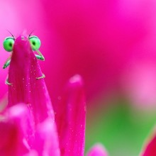 Green-Eyed Damselfly Behind Flower Petal