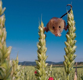 Harvest Mouse In A Wheat Field