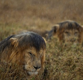 Lions Hunkered Down In Rain
