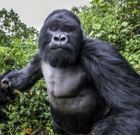 Mountain Gorilla Right Before He Punched The Photographer