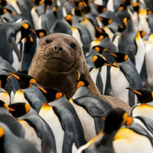 Seal Pup In The Middle Of King Penguins Colony