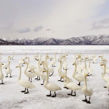 Swan Flock On Frozen Lake Kussharo, Japan