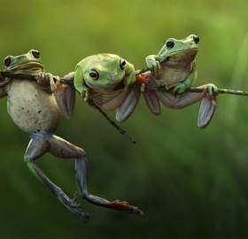 Tree Frogs On A Branch