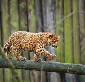 Adorable Leopard Cub