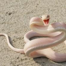 Albino Mamba Snake Smile