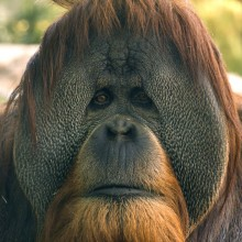 An Orangutan Stares Out At The Visitors Of The San Diego Zoo