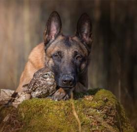Best Friends, Belgian Malinois And An Owl