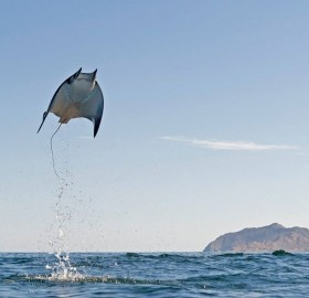Flying Munk's Devil Rays