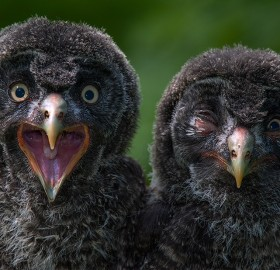Owl Chicks Brothers
