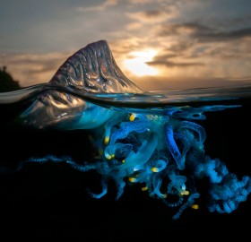 Portuguese Man O' War In Waters Of Australia